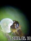 アゲハ幼虫。殻を食べている